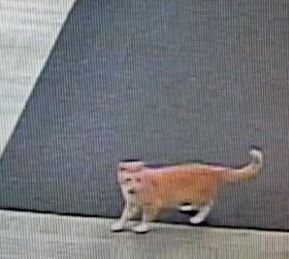 Security camera image of cat banned from Macalester College library